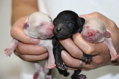 トイプードルホワイト(白色)の子犬オス1頭メス1頭、シルバーオス1頭、生後3日画像