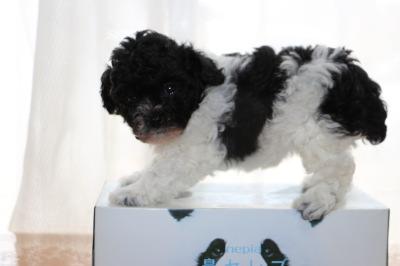 トイプードル白黒パーティーの子犬メス、生後6週間画像