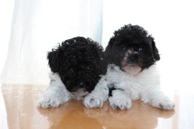 トイプードル白黒パーティーの子犬オス1頭メス1頭、生後6週間画像