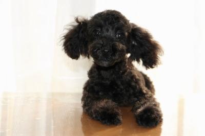トイプードルブラック(黒色)の子犬メス、生後4ヶ月画像