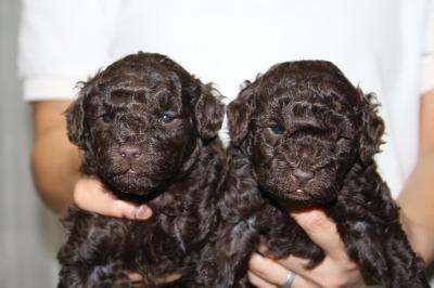 トイプードルブラウンの子犬オス1頭メス1頭、生後4週間画像