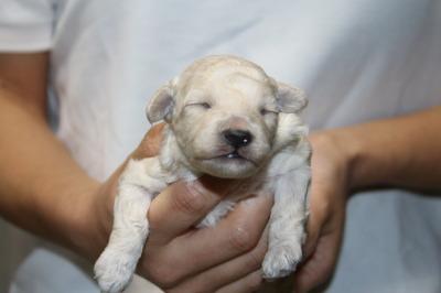 トイプードルホワイト(白色)の子犬メス、生後1週間画像