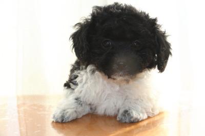 トイプードル白黒パーティーの子犬オス、生後7週間画像