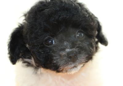 トイプードル白黒パーティーの子犬メス、生後7週間画像