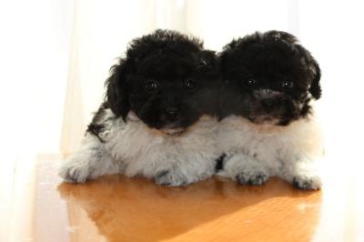 トイプードル白黒パーティーの子犬オス1頭メス1頭、生後7週間画像