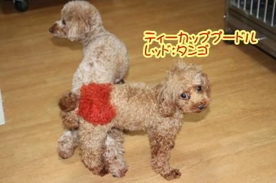 トイプードレッド犬の交配、種オスティーカッププードルレッド、タンゴ画像