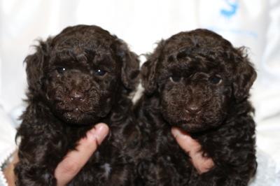 トイプードルブラウンの子犬オス1頭メス1頭、生後5週間画像