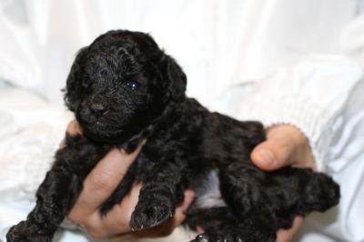 トイプードルシルバー(グレー)の子犬オス、生後3週間画像