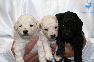 トイプードルホワイト(白色)子犬オス1頭メス1頭、シルバーオス1頭、生後3週間画像