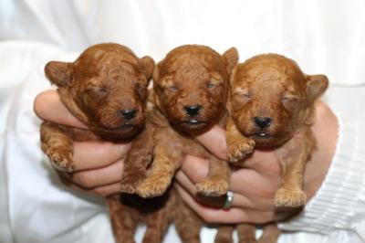 トイプードルレッドの子犬オス1頭メス2頭、生後2週間画像