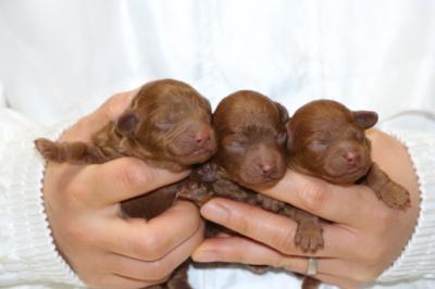 トイプードルレッドの子犬オス1頭メス2頭、生後3日画像