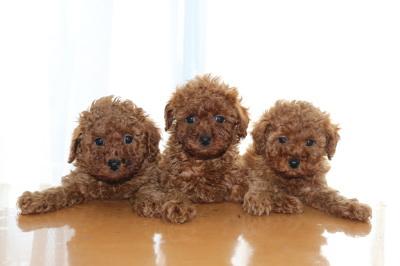 トイプードルレッドの子犬オス1頭メス2頭、生後6週間画像