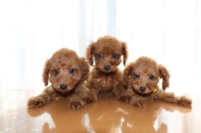 トイプードルレッドの子犬オス1頭メス2頭、生後2ヶ月画像