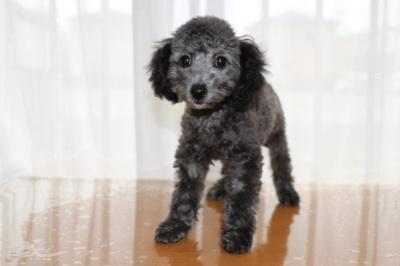 トイプードルシルバー(グレー)の子犬オス、生後3ヶ月画像
