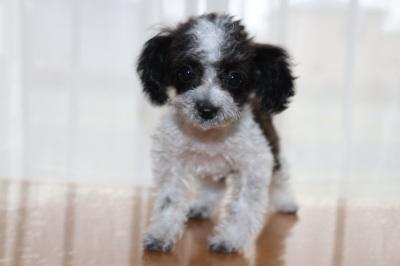 ティーカップサイズのトイプードル白黒パーティーの子犬メス
