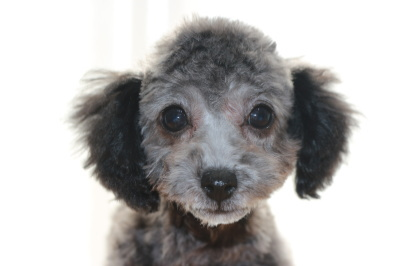 トイプードルシルバーの子犬メス、生後3ヶ月画像