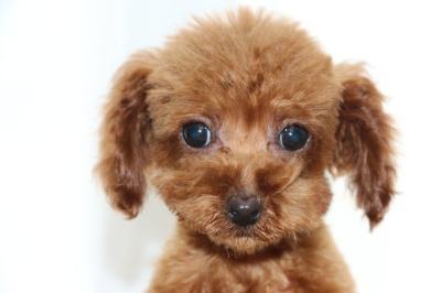 トイプードルレッドの子犬メス、生後3ヶ月画像