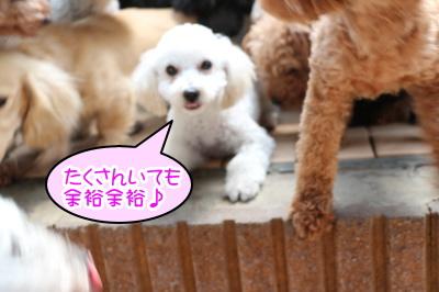 トイプードルホワイトの子犬メス、生後4ヶ月画像