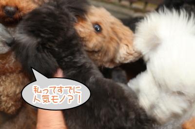 トイプードルシルバーの子犬メス、生後4ヶ月画像