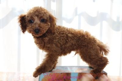 トイプードルレッドの子犬オス、生後4ヶ月画像
