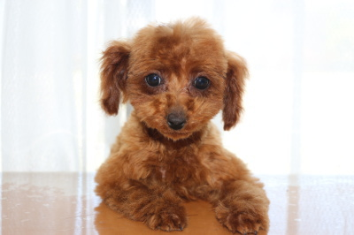 タイニーサイズトイプードルレッドの子犬メス、生後4ヶ月画像