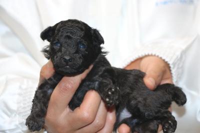 トイプードルシルバーの子犬メス、生後2週間画像