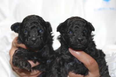 トイプードルシルバーの子犬オスメス、生後2週間画像