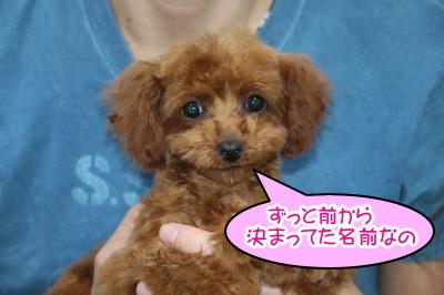トイプードルレッドの子犬メス、生後4ヶ月画像