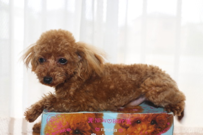 ティーカッププードルレッドの子犬オス、生後8ヶ月画像