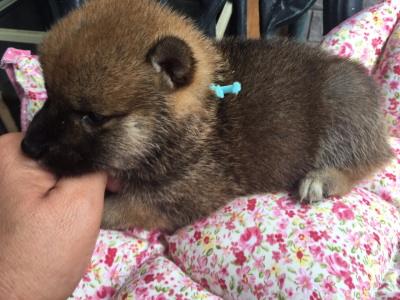 柴犬赤(茶色)の子犬オス、生後1ヶ月画像