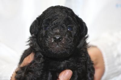 トイプードルシルバーの子犬オス、生後3週間画像