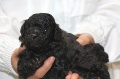 トイプードルシルバーの子犬メス、生後3週間画像