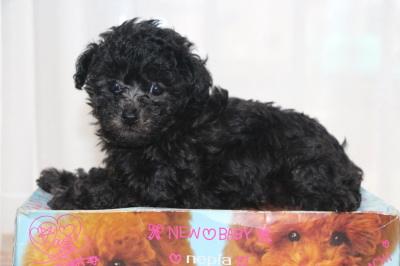 タイニーサイズトイプードルシルバーの子犬メス、生後6週間画像