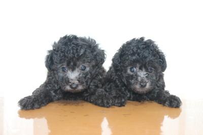 タイニーサイズトイプードルシルバーの子犬オスメス、生後6週間画像