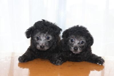 トイプードルシルバーの子犬オス1頭メス1頭、生後7週間画像