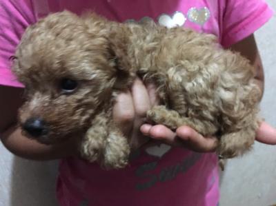 トイプードルレッドの子犬メス、生後5週間
