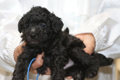 トイプードルシルバーの子犬オス、生後5週間画像