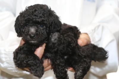トイプードルシルバーの子犬メス、生後5週間画像