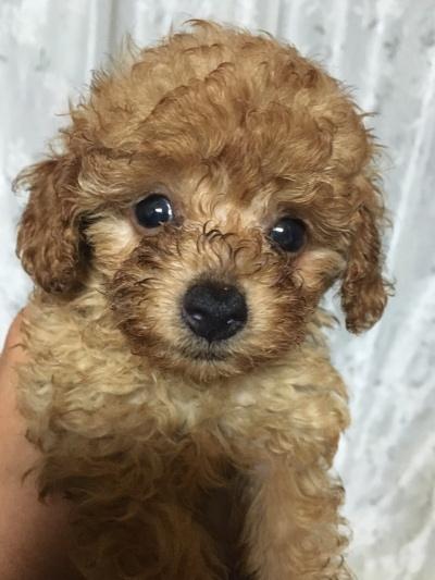タイニーサイズトイプードルレッドの子犬メス、生後6週間画像
