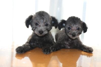 タイニーサイズトイプードルシルバーの子犬オスメス、生後2ヶ月画像