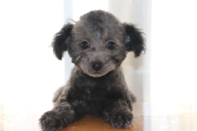 タイニーサイズトイプードルシルバーの子犬オス、生後2ヶ月画像