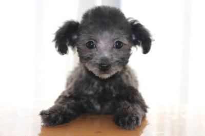 タイニーサイズトイプードルシルバーの子犬メス、生後2ヶ月画像