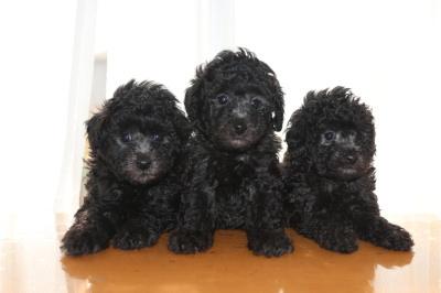 トイプードルシルバーの子犬オス2頭メス1頭、生後6週間画像