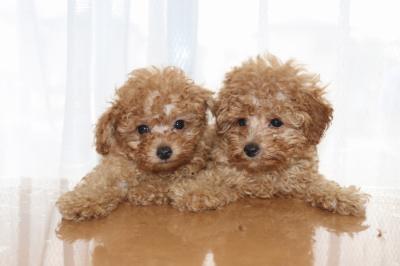 トイプードルアプリコットの子犬メス2頭、生後7週間画像
