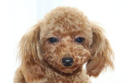 ティーカッププードルレッドの子犬オス、生後9か月画像