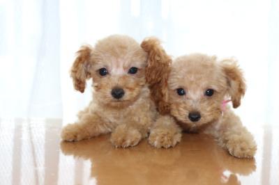 トイプードルアプリコットの子犬メス2頭、生後2ヶ月画像