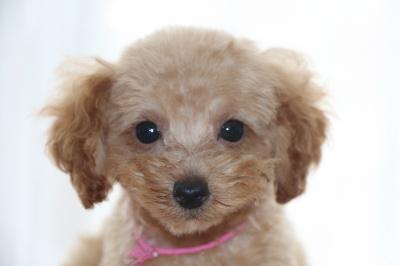 トイプードルアプリコットの子犬メス、生後2ヶ月画像