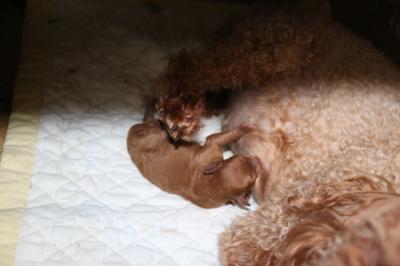 トイプードルレッドの出産画像