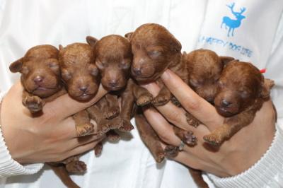 トイプードルレッドの子犬オス4頭メス2頭、生後3日画像