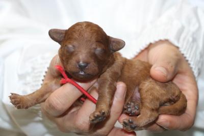 トイプードルレッドの子犬メス、生後3日画像